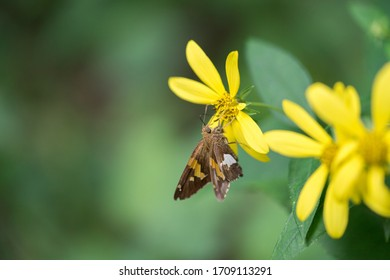 Closeup of brown and orange underwing moth on a yellow flower with green leaves and green background
