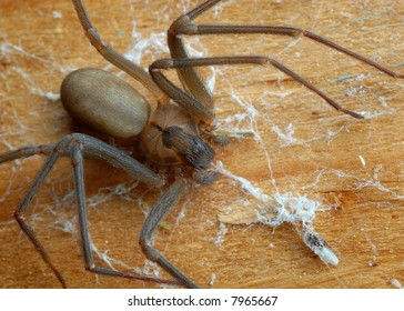 Close-up of a brown recluse spider