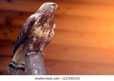 A close-up of a brown saker falcon   on birch