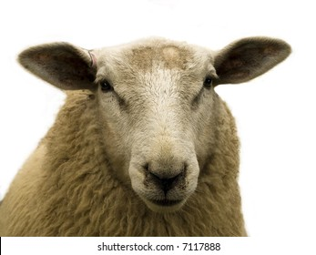 Close-up of a brown sheep over white background