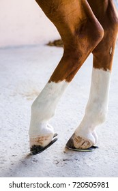 Closeup brown skin horse with legs, hooves and horseshoes