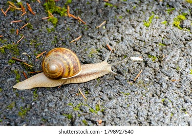 Close-up of a brown snail crawling on a road.
