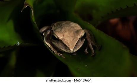 Close-Up Of Brown tree frog