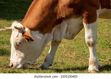 Close-up of a brown and white cow with horns grazing on a green Meadow