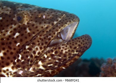 Close-up of a brownspotted grouper in the Red Sea.