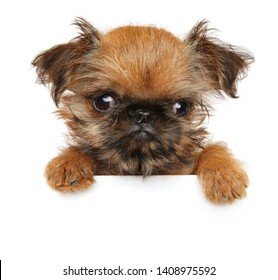 Close-up of a Brussels Griffon puppy above banner, isolated on white background