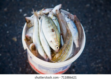 Close-up of a bucket full of freshly caught fish.