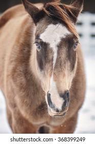 Closeup of Buckskin Horse in the Snow