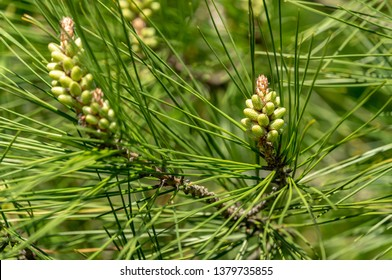 Close-up of bud pollination  pinecone on the branches of Pitsunda pine Pinus brutia pityusaon. Sunny day in spring garden. Nature concept for design. Selective focus