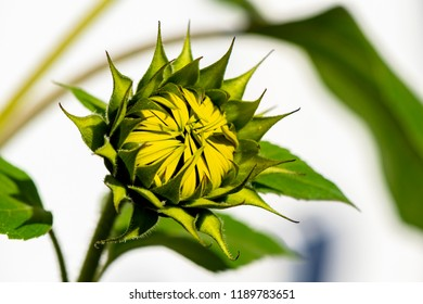 Close-up of the bud of a sunflower (Helianthus annuus)