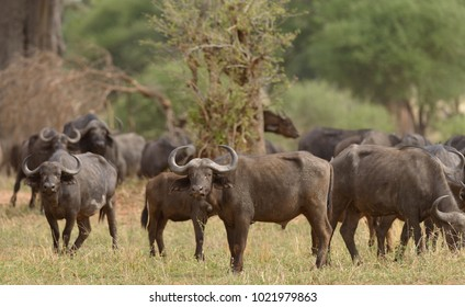 "Closeup of Buffalo (scientific name: Syncerus caffer or ""Nyati or Mbogo"" in Swaheli) in the Tarangire National park, Tanzania"