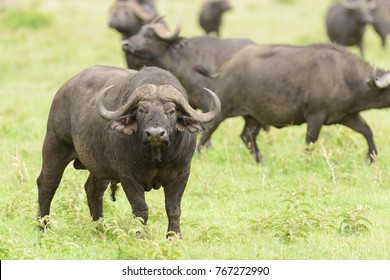 "Closeup of Buffalo (scientific name: Syncerus caffer or ""Nyati or Mbogo"" in Swaheli) in the Serengeti/Tarangire, Lake Manyara, Ngorogoro National park, Tanzania"