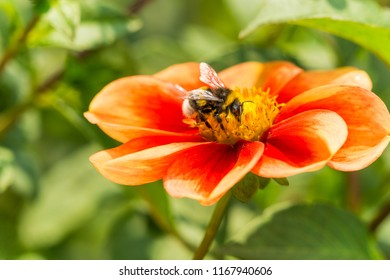 Close-up of a Bumble Bee on a orange colored Dahlia Flower.