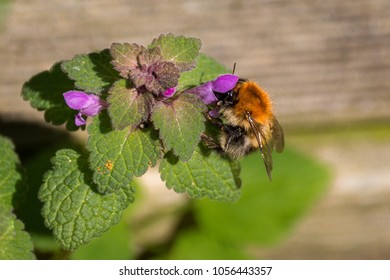 Close-up of a bumble bee sitting on a blossom of a lamium