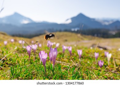 closeup of  bumble bee at wild crocos in purple and white on famous Mountain Heuberg with snow covered Alps in the background, red-tailed bumblebee, Bombus lapidarius