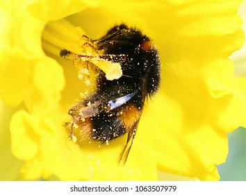 Closeup Bumblebee in Daffodil covered in pollen.