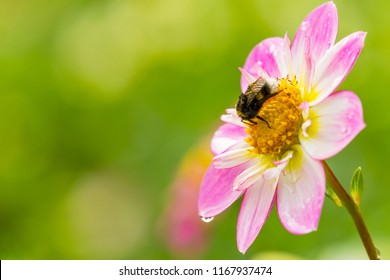 Close-up of a Bumblebee on a Pink Dahlia Pooh (Collarette Dahlias)Flower.