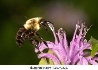 Closeup of a bumblebee pollinator, Bombus sp., on lavender bergamot flowers, Monarda fistulosa, at the Belding Wildlife Management Area in Vernon, Connecticut.
