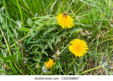 Closeup of a bumblebee sitting on a dandelion