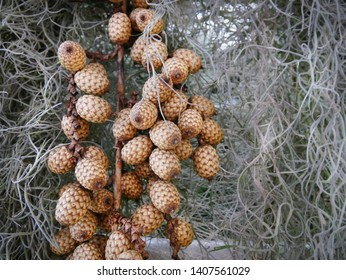 Close-up Bunch of Brown Dry Fruits with Zigzag Pattern