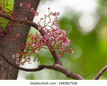 Closeup Bunch of Carambola Flowers on Branch Isolated on Nature Background