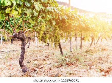 close-up of bunch of grapes hanging on vine in golden sunlight