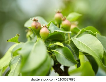 Closeup of a bunch of unripe apples on a tree branch