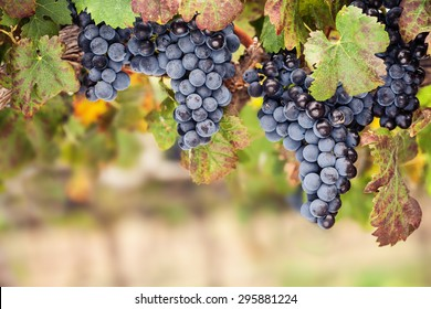 Close-up of bunches of red wine grapes on the vine with autumn colours