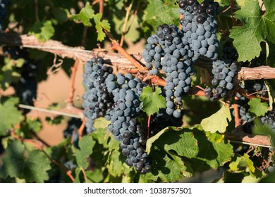 Close-up of bunches of ripe black grapes on summer vine with green leaves.