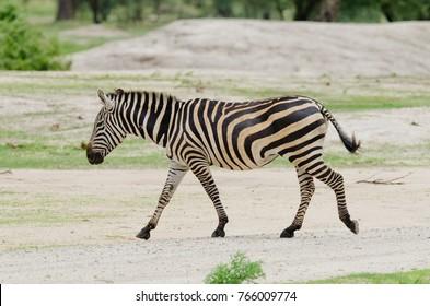 "Closeup of Burchell's Zebra or Boehm's zebra (scientific name: Equus burchelli, subspecies Equus burchelli boehmi or ""Punda milia"" in Swaheli) image taken on Safari located in Tanzania"