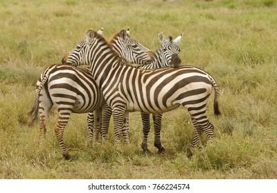 "Closeup of Burchell's Zebra or Boehm's zebra (scientific name: Equus burchelli, subspecies Equus burchelli boehmi or ""Punda milia"" in Swaheli)   on Safari  in the Serengeti National park,  Tanzania"