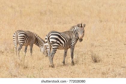 "Closeup of Burchell's Zebra or Boehm's zebra (scientific name: Equus burchelli, subspecies Equus burchelli boehmi or ""Punda milia"" in Swaheli) in the Tarangire National park, Tanzania"
