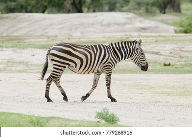 "Closeup of Burchell's Zebra or Boehm's zebra (scientific name: Equus burchelli, subspecies Equus burchelli boehmi or ""Punda milia"" in Swaheli) in the Tarangire, National park, Tanzania"