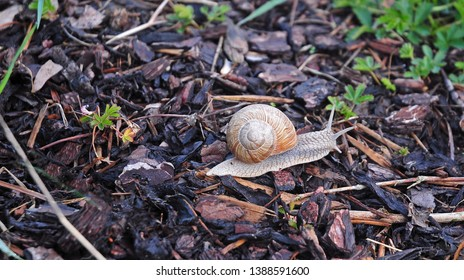 close-up of burgundy snail with spiral shell creeping over bark mulch