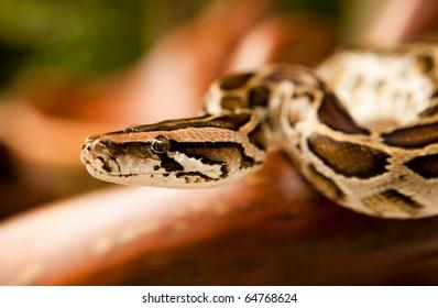 A close-up of a Burmese python slithering on a tree.