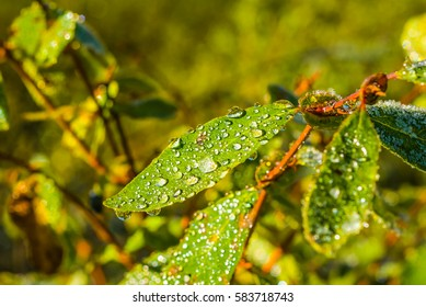 closeup bush branch in a water drops
