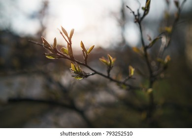 closeup of bush with leaves and buds in spring morning