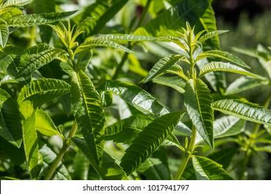 closeup of bush of lemon verbena plant or Aloysia citrodora bush in aromatic gardens in natural sunny daylight