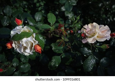 A close-up of a bush of roses with two white blossoming flowers and red buds in the early morning at dusk in the dew on a dark green background of leaves, lush picturesque baroque passionate petals