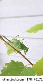 A closeup of a bush-cricket