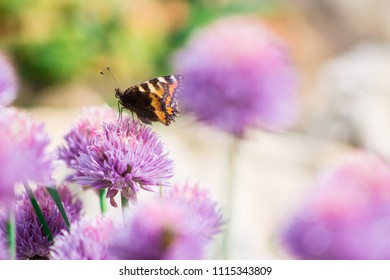 Close-up of a butterfly with black and orange wings on purple Allium flowers outdoors on a flower bed in the garden. Nature and gardening concept, copyspace