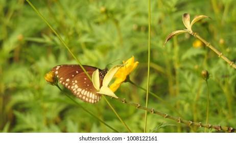 Closeup butterfly on flower, butterfly on flower in garden, flower blurry background with butterfly. Butterfly Pea on flower,