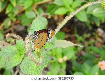 Closeup Butterfly on plant in the garden (The Malay Lacewing)