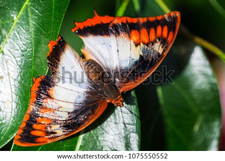 Closeup of a butterfly with orange, black and white wings.