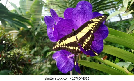 Closeup butterfly (Papilio cresphontes) on Orchids flowers. The giant swallowtail.
