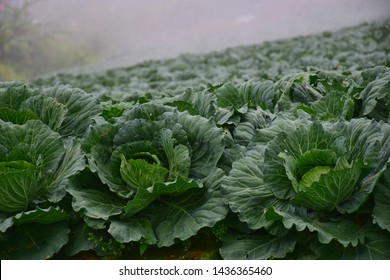 Close-up Cabbage or Brassica oleracea beautiful nature rows of green vegetables in the cultivated area, agriculture in rural areas on the high mountain at Phu Thap Boek, Phetchabun, Thailand