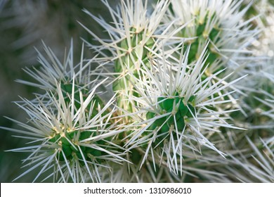 Close-up of cactus branches with long white needles. Teddy Bear Cholla Cactus - Cylindropuntia bigelovii