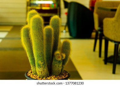 Closeup cactus (Mammillaria elongate) in the pot on the blurred background, Huahin Thailand.