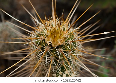 Closeup of cactus spines.