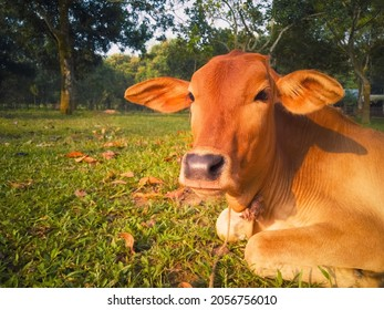 Closeup Of Calf Cow With Blur Background. Cow Sitted On Grassy Field In The Countryside Of Bangladesh. Morning Sunlight On Calf Cow. Selective Focus, Copy Space.